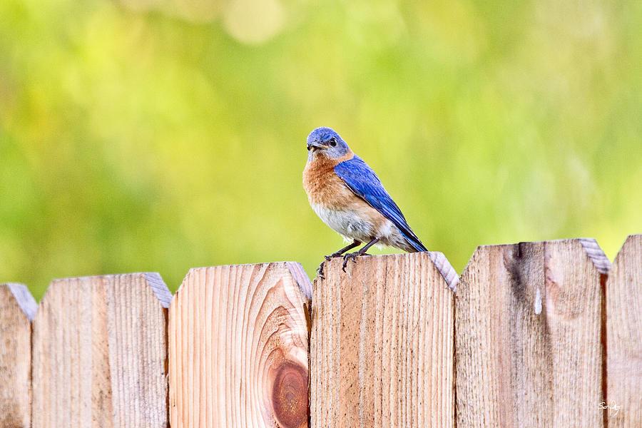 Bluebird Photograph - Mr. Bluebird by Scott Pellegrin