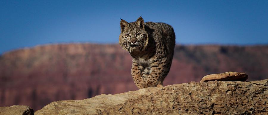 Mr. Bob Cat Photograph