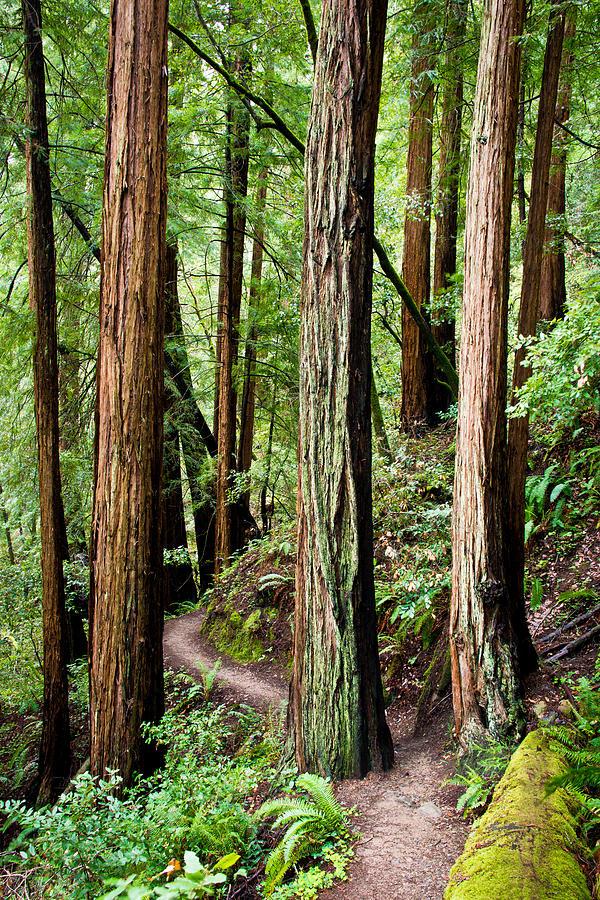 Tree Photograph - Muir Woods by Niels Nielsen