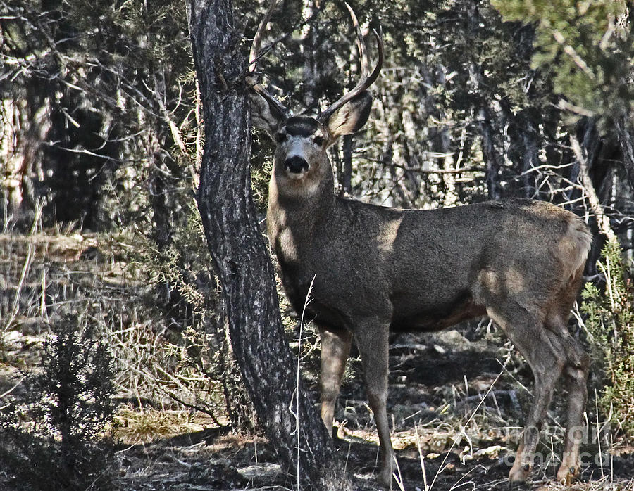 Mule Deer Buck Photograph  - Mule Deer Buck Fine Art Print