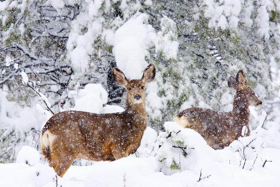 Mule Deer In A Snowstorm Photograph