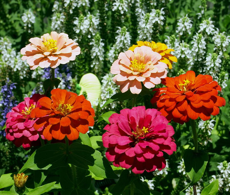 Multi Colored Zinnia Flowers In Garden is a photograph by Amy McDaniel ...