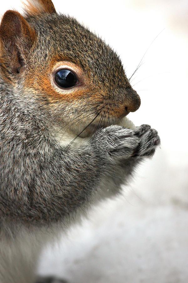 Squirrel Photograph - Munching by Karol Livote