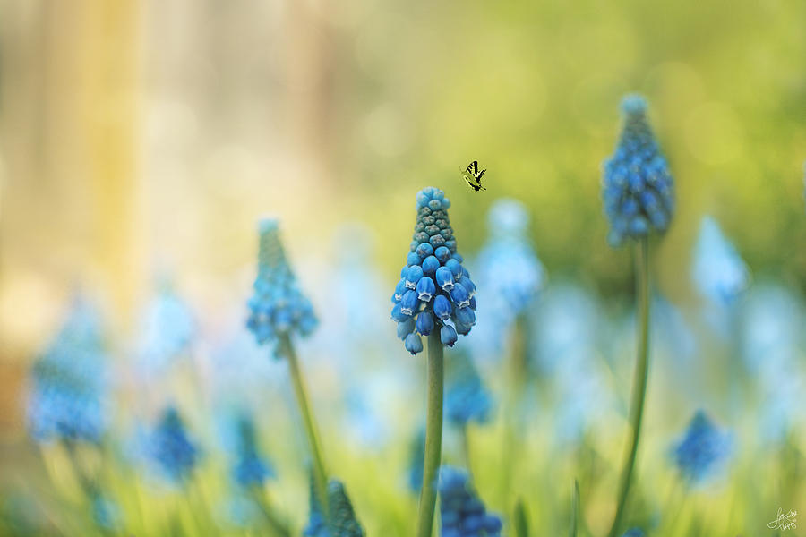 Muscari Faerie Land Photograph