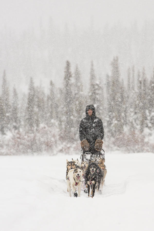 Mushing Through A Snow Storm Photograph