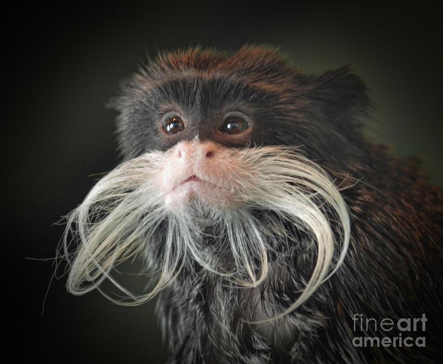 Mustached Monkey Emperor Tamarin IIi  Photograph