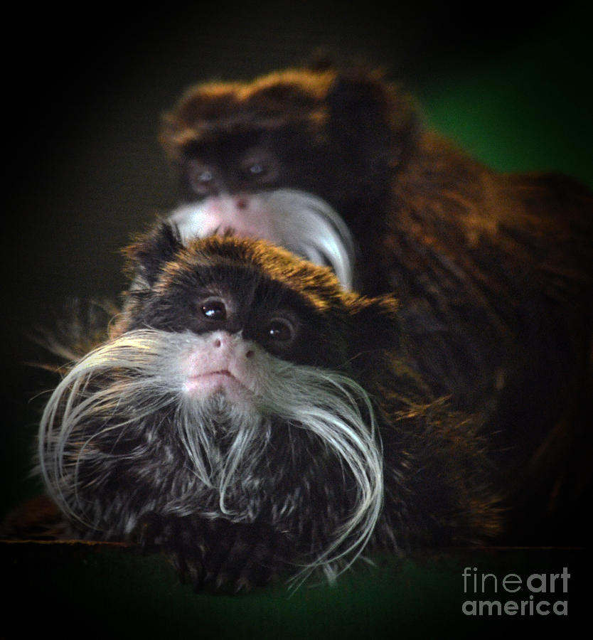 Mustached Monkey Photograph - Mustached Monkeys Emperor Tamarins  by Jim Fitzpatrick