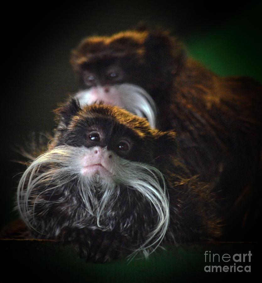 Mustached Monkeys Emperor Tamarins  Photograph