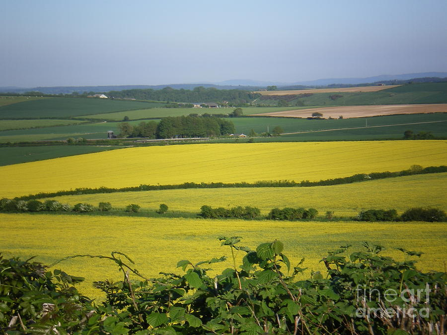 Mustard Colour Fields Photograph  - Mustard Colour Fields Fine Art Print