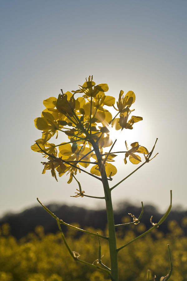 Mustard Flower In The Sun Photograph  - Mustard Flower In The Sun Fine Art Print