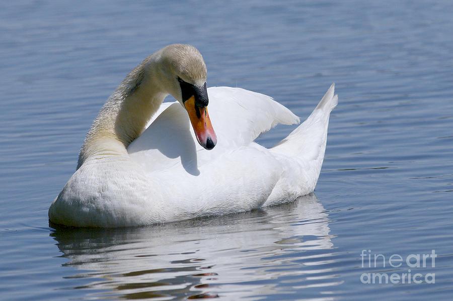 Mute Swan 1 Photograph