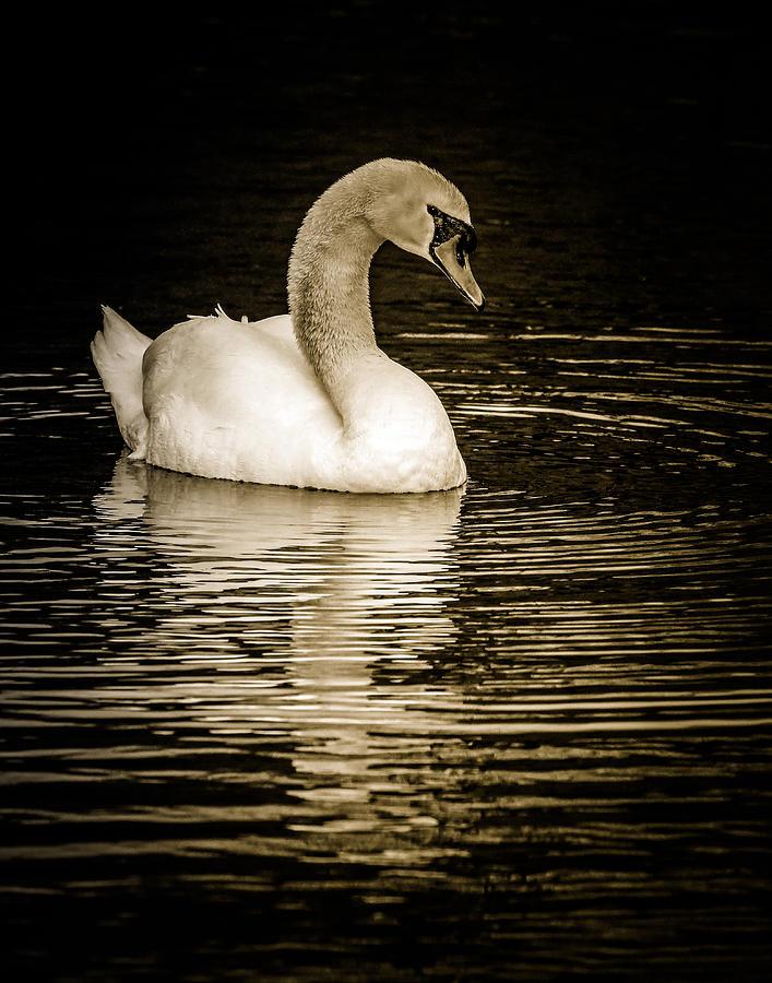 Mute Swan II Photograph