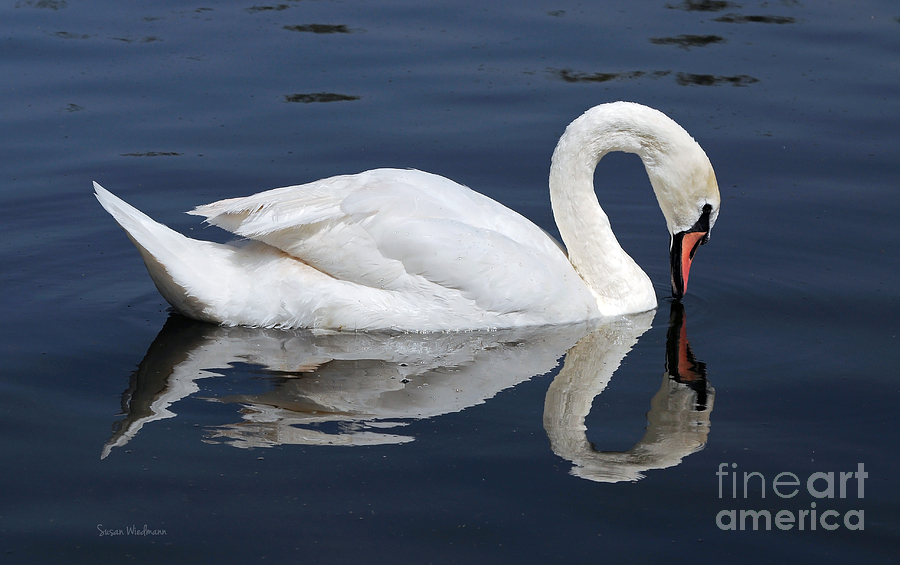 Mute Swan Kissing Its Reflection Photograph  - Mute Swan Kissing Its Reflection Fine Art Print