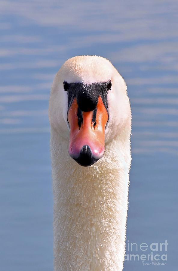 Susan Wiedmann Photograph - Mute Swan Staring by Susan Wiedmann