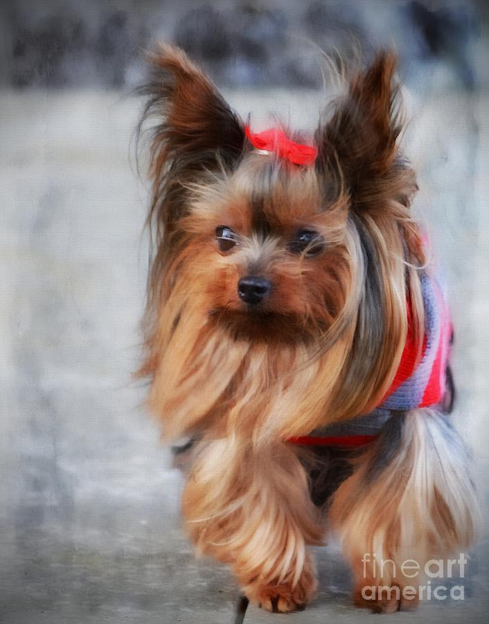 Yorkshire Terrier Mixed Media - My Beauty II by Gail Bridger