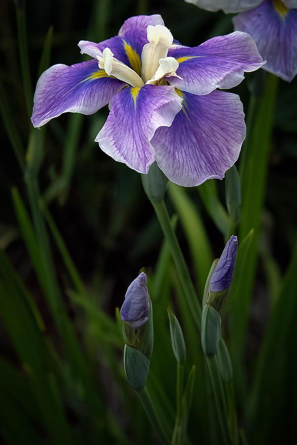 My Iris Photograph