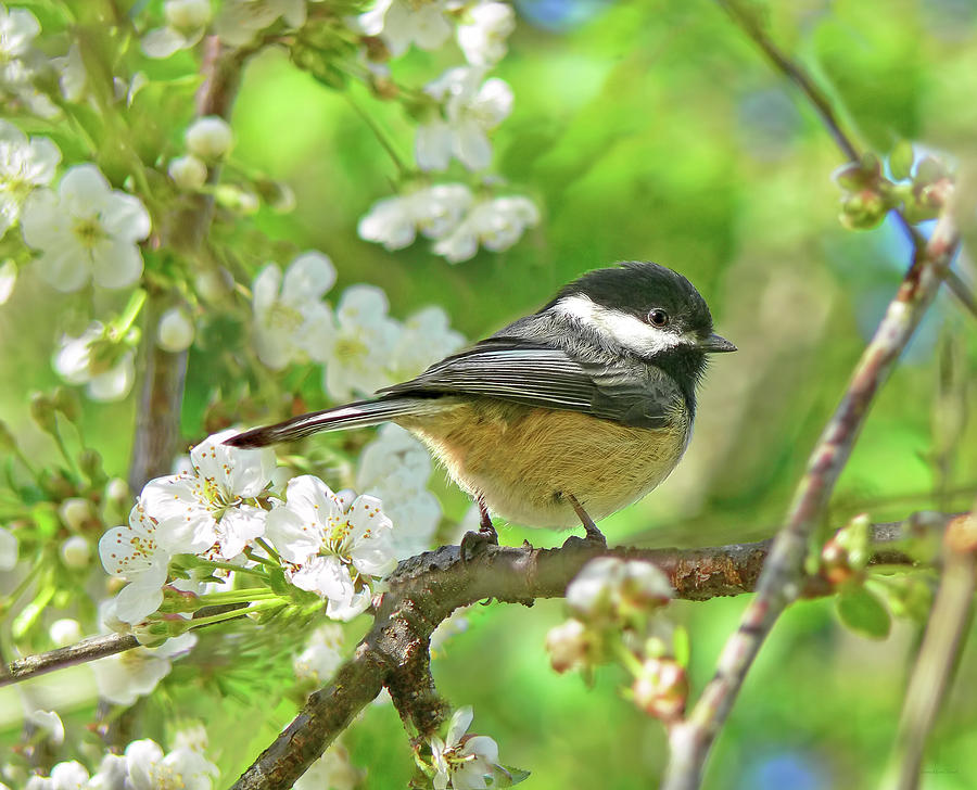 My Little Chickadee In The Cherry Tree Photograph  - My Little Chickadee In The Cherry Tree Fine Art Print