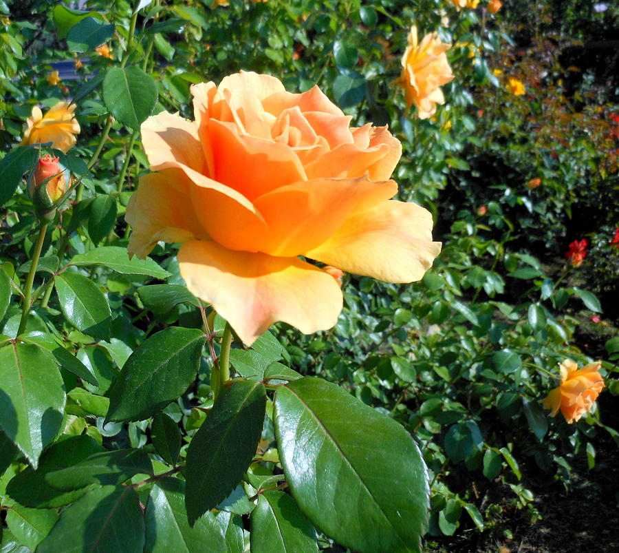 My Love Is Like A Rose Photograph  - My Love Is Like A Rose Fine Art Print
