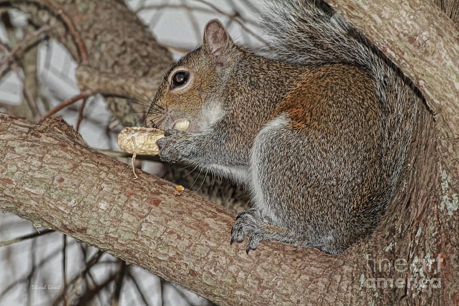 Squirrel Photograph - My Peanut by Deborah Benoit