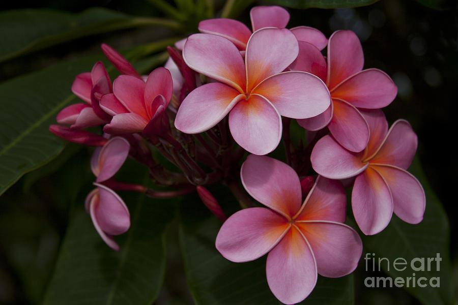 Na Lei Pua Melia O Wailua - Pink Tropical Plumeria Hawaii Photograph