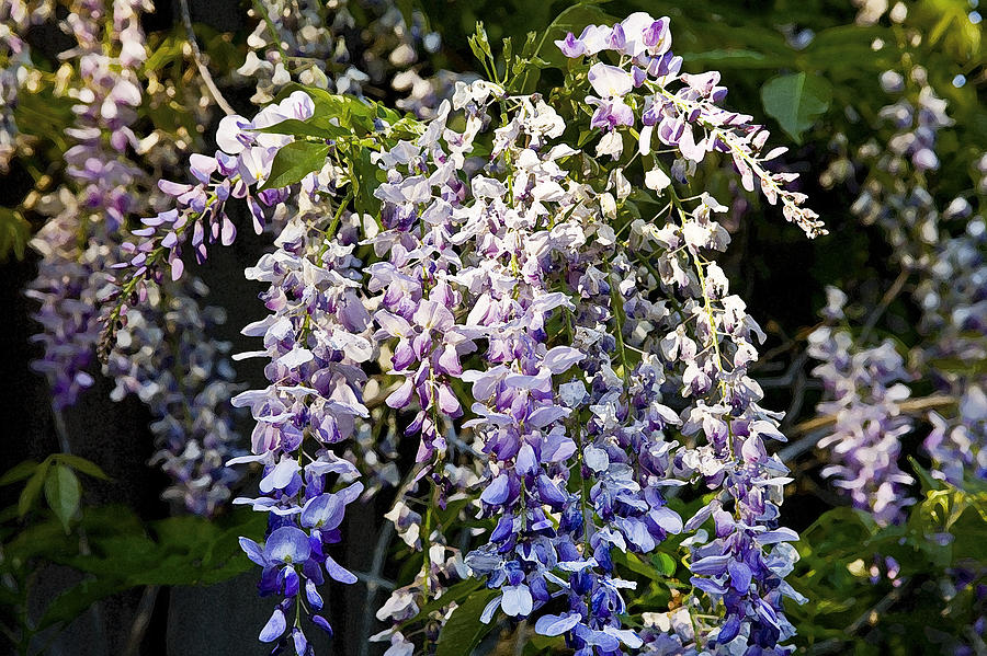 Nancys Wisteria 3 Db Photograph