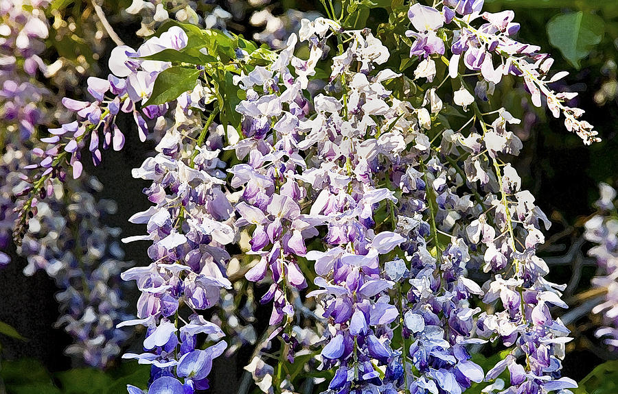 Nancys Wisteria Cropped Db Photograph  - Nancys Wisteria Cropped Db Fine Art Print