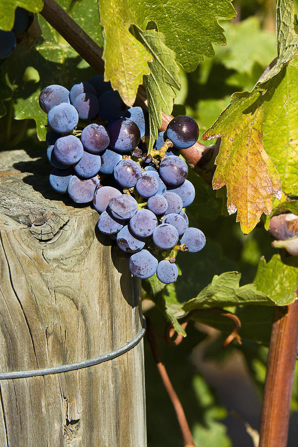 Napa Grapes In Vineyard Photograph  - Napa Grapes In Vineyard Fine Art Print