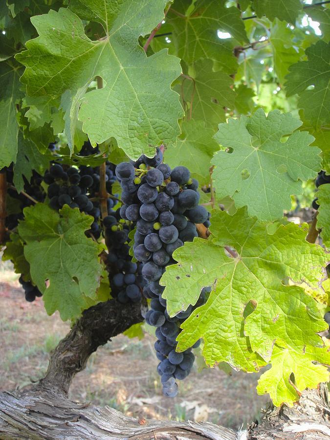 Napa Valley Photograph - Napa Valley Vineyard Grapes by Jennifer Lamanca Kaufman