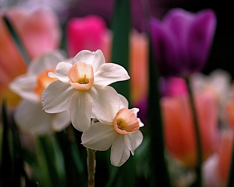 Narcissus And Tulips Photograph