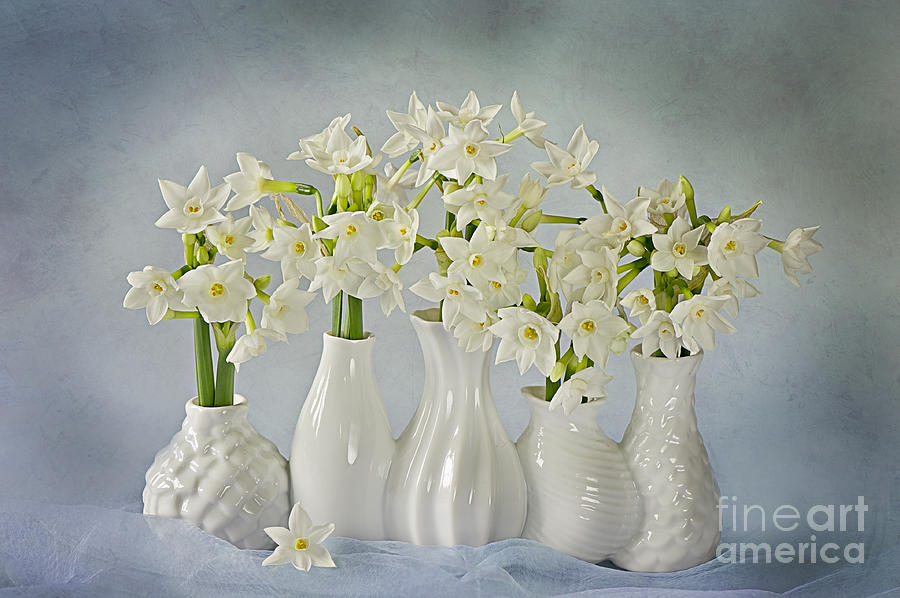 Narcissus paperwhites Photograph