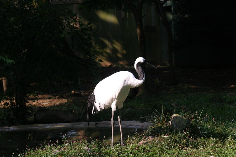 National Zoo - Birds - 12125 Photograph  - National Zoo - Birds - 12125 Fine Art Print
