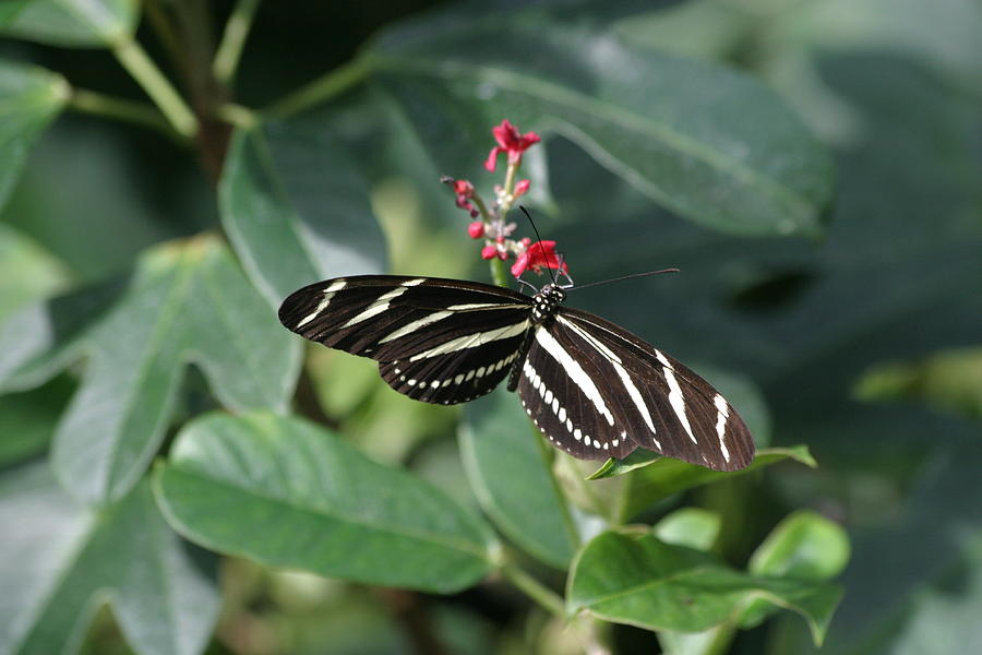 National Zoo - Butterfly - 12121 Photograph