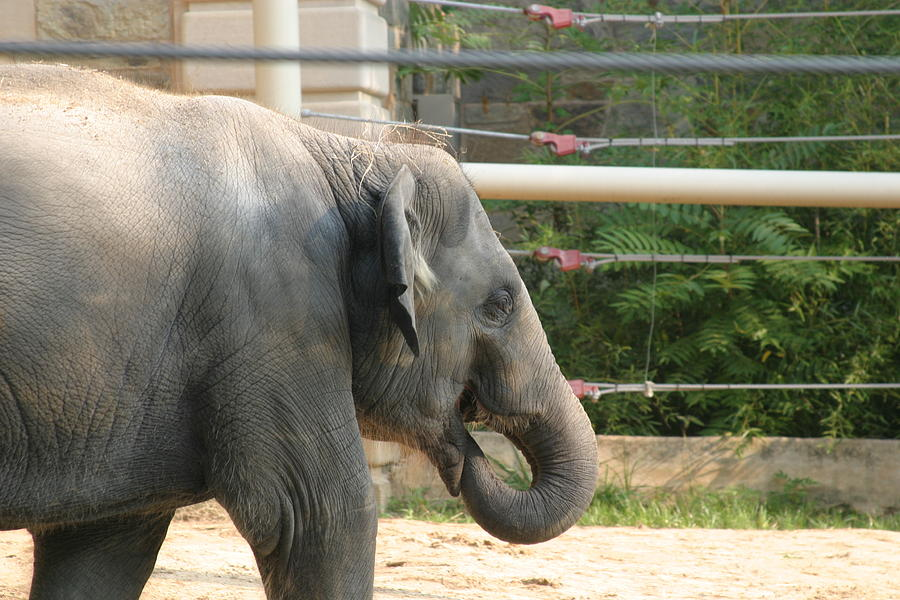 National Photograph - National Zoo - Elephant - 121212 by DC Photographer