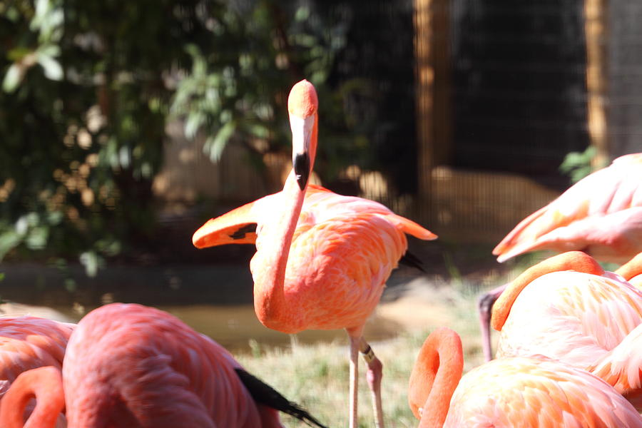 National Photograph - National Zoo - Flamingo - 01133 by DC Photographer