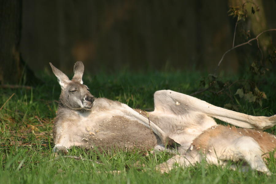 National Zoo - Kangaroo - 12123 Photograph  - National Zoo - Kangaroo - 12123 Fine Art Print