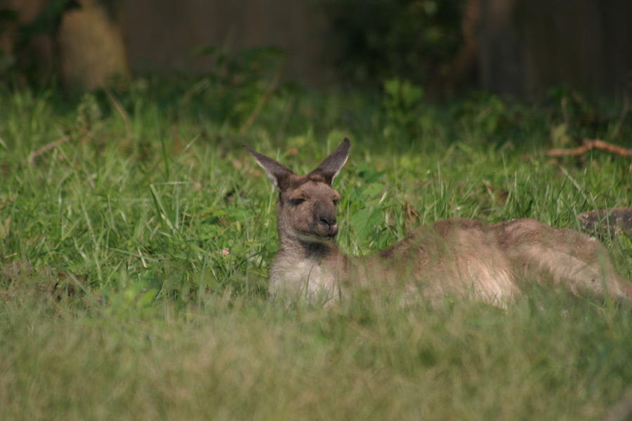 National Zoo - Kangaroo - 12125 Photograph  - National Zoo - Kangaroo - 12125 Fine Art Print