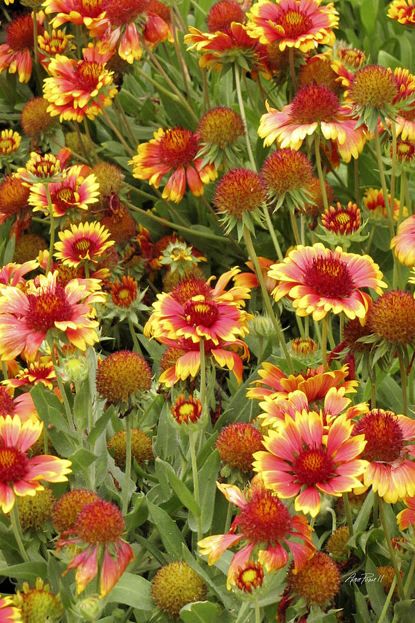 nature - flowers -Blanket Flowers Six -photography Photograph