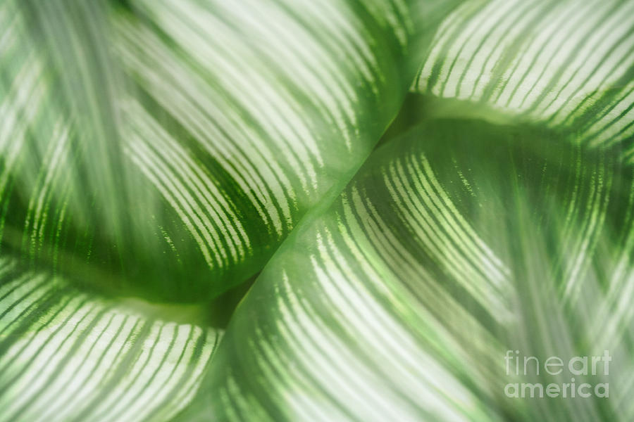 Nature Leaves Abstract In Green 2 Photograph  - Nature Leaves Abstract In Green 2 Fine Art Print