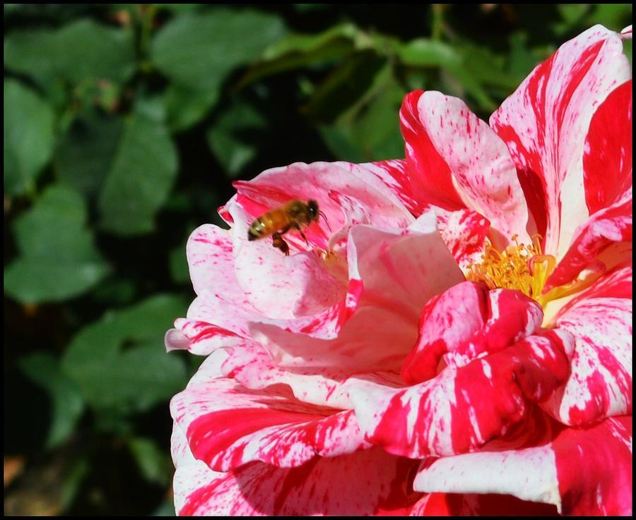 Bee Photograph - Nature by Steve La Motte