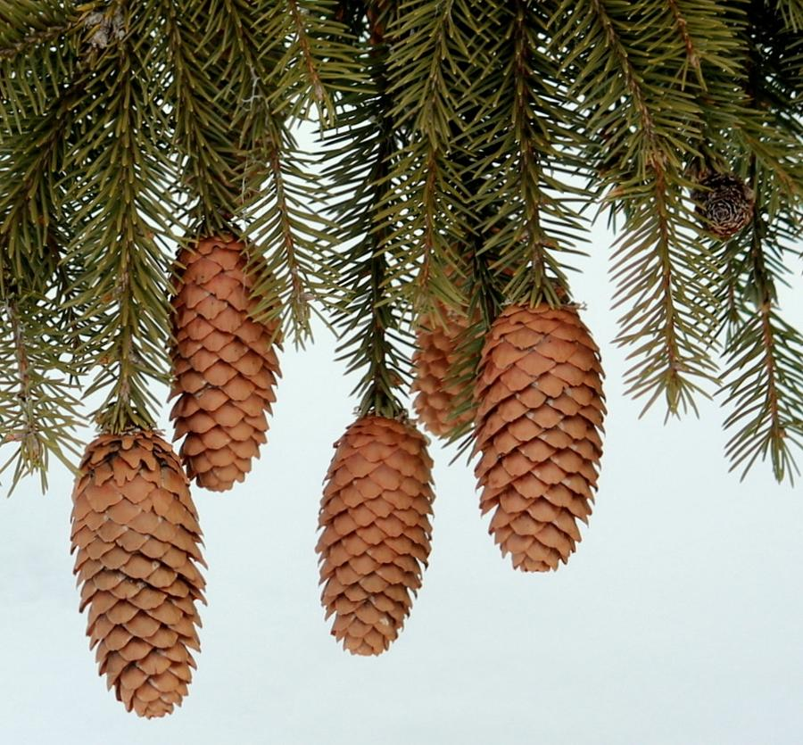 Natures pine cone ornaments photograph by rosanne jordan for Pine cone ornaments