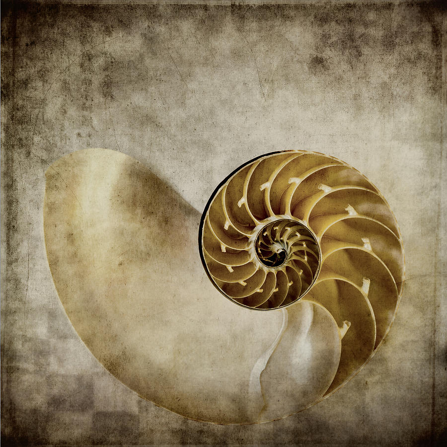 Nautilus Shell Photograph