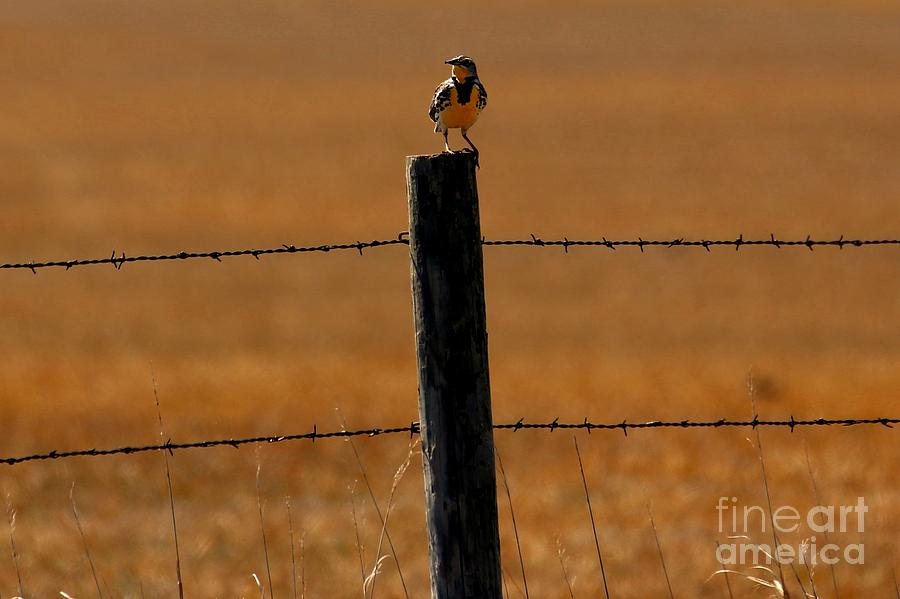 Western Meadowlark Photograph - Nebraskas Bird by Elizabeth Winter