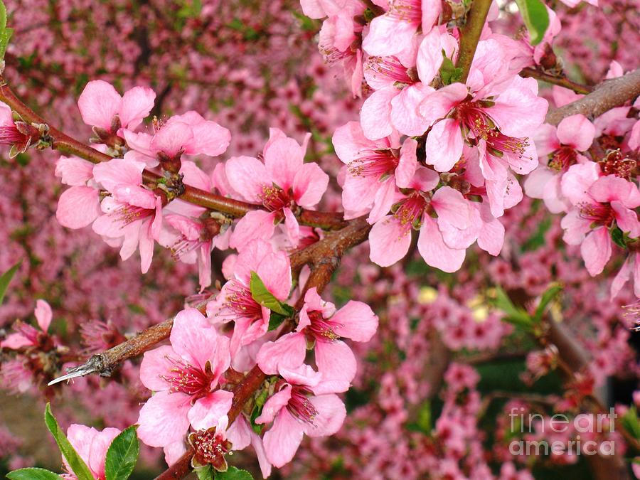Nectarine Blossoms Photograph