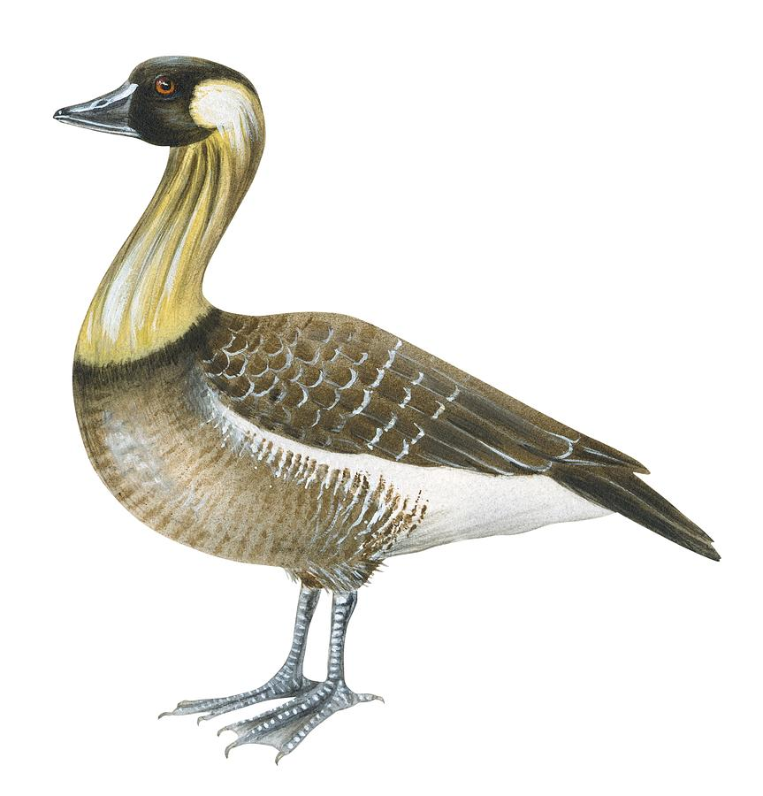 No People; Square Image; Full Length; White Background; Standing; One Animal; Animal Themes; Illustration And Painting; Nene; Branta Sandvicensis; Bird; Aquatic Drawing - Nene by Anonymous