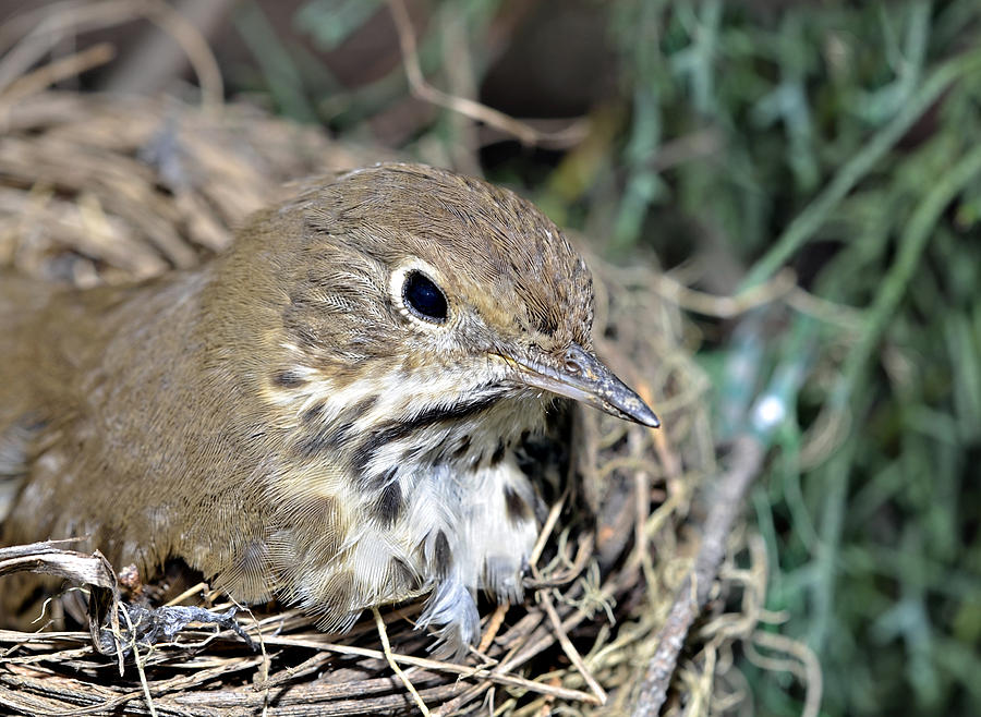 Nest In A Tree Photograph