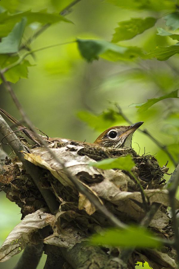 Nesting Birds - Wood Thrush Photograph