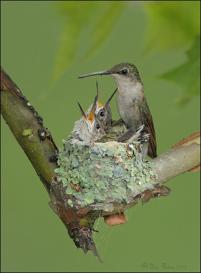 Nesting Hummingbird Family Photograph  - Nesting Hummingbird Family Fine Art Print