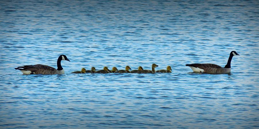 New Generation Of Geese Photograph  - New Generation Of Geese Fine Art Print