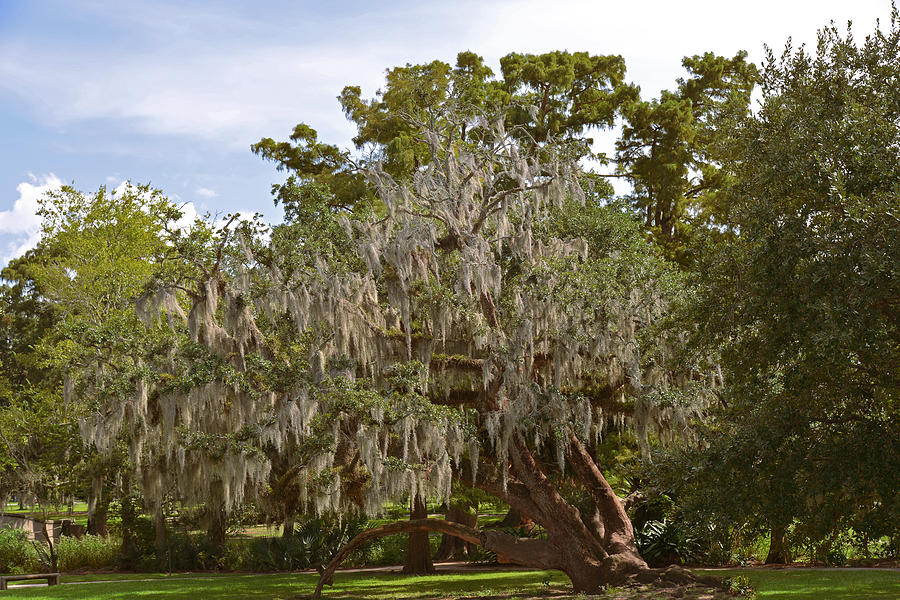 New Orleans Spanish Moss Photograph