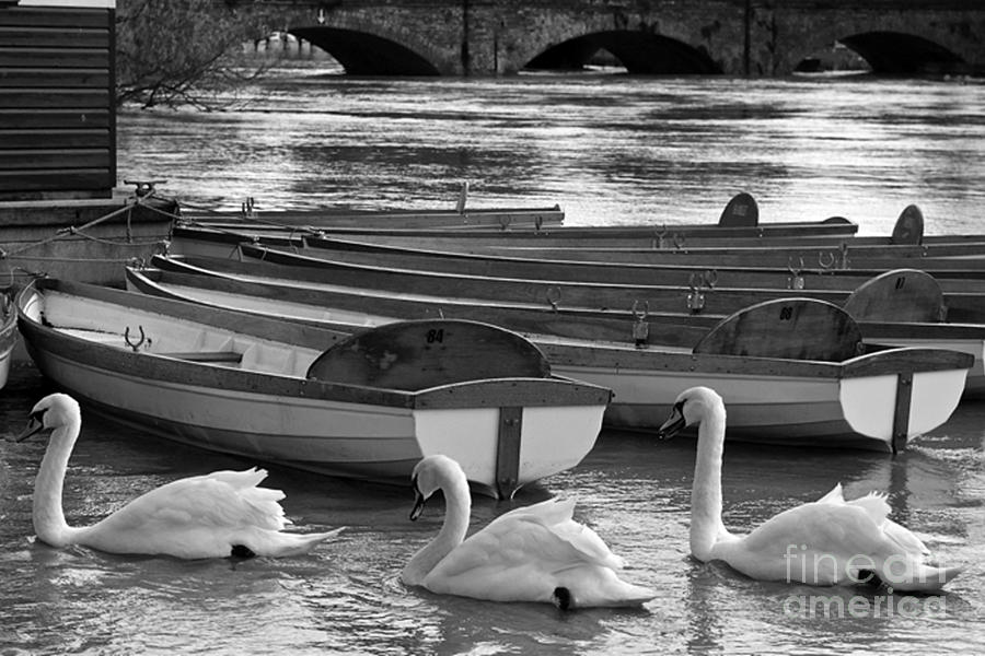 New photographic art print for sale swans in row black and for Large photographic prints for sale